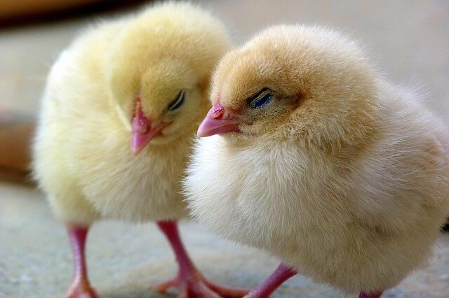 chicks-1444525_640-1